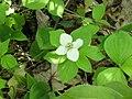 Cornus canadensis 1-eheep (5097228493).jpg