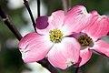 Cornus florida var. rubra Cherokee Brave 4zz.jpg