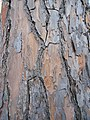 Corteccia di pinus pinea (01).jpg