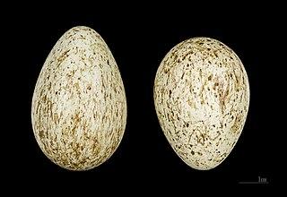 Krkavec čierny - vajíčka