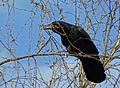 Corvus corone, Carrion Crow, Rabenkrähe 03.jpg