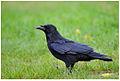 Corvus corone Bois de Vincennes.jpg