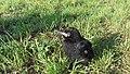 Corvus frugilegus nestling 3.jpg