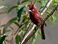 Coryphospingus cucullatus -Piraju, Sao Paulo, Brazil-8 (1).jpg