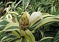 Costus arabicus 'Variegatus' kz03.jpg
