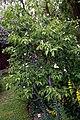 Cottage garden mixed border at Boreham, Essex, England 01.jpg