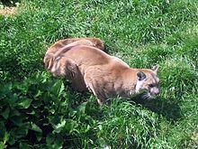puma québec