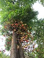 Couroupita guianensis - Cannon Ball Tree at Peravoor (26).jpg