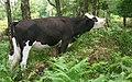 Cow Bickerton Aug 2007.jpg
