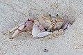 Crabs of Seychelles 07.jpg
