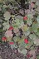 Cranberry Viburnum (Viburnum opulus) - Waterloo, Ontario 2019-10-11.jpg
