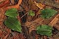 Crane-fly Orchid - Tipularia discolor, Mason Neck, Virginia (37635446464).jpg