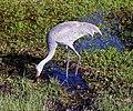 Crane dabbling - Narcoosie.jpg