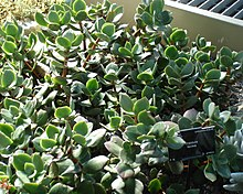 how long does it take succulents to grow