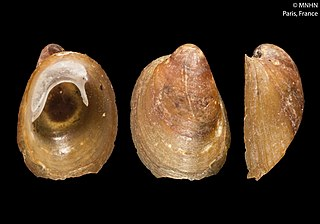 <i>Latia neritoides</i> Species of gastropod