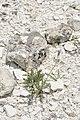 Crepis purpurea (6).jpg