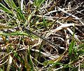 Crescent Bluet. Coenagrion lunulatum. - Flickr - gailhampshire.jpg