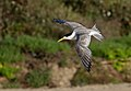 Crested Tern (Thalasseus bergii) (33996429210).jpg