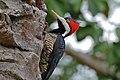 Crimson-crested Woodpecker (Campephilus melanoleucus) female (28375768093).jpg
