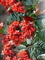 Crimson Sunbird - Aethopyga siparaja - P1080053.jpg