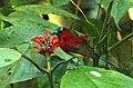 Crimson Sunbird Aethopyga siparaja by Dr. Raju Kasambe IMG 2509 (9).JPG