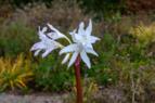Crinum Lily NBG LR.png
