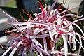 """Crinum asiaticum, """"Spider Lily"""".jpg"""