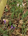 Crocuses by Browns Bridge Road - geograph.org.uk - 1174545.jpg