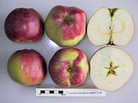 Cross section of Calville Rouge du Mont d'Or, National Fruit Collection (acc. 1949-115).jpg