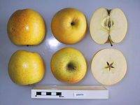 Cross section of Sinta, National Fruit Collection (acc. 1973-129).jpg