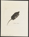 Crossopus fodiens - 1700-1880 - Print - Iconographia Zoologica - Special Collections University of Amsterdam - UBA01 IZ20900145.tif