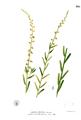 Crotalaria montana Blanco2.268.png
