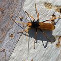 Cryptocheilus bicolor - Sydney 5.jpg