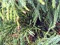 Cryptomeria japonica Yoshino 1zz.jpg