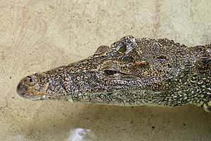 Cuban crocodile - Specimen at Zoo Miami