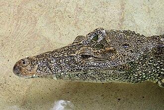 Cuban crocodile - Specimen at Zoo Miami