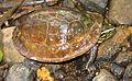 Cuora amboinensis amboinensis - ZooKeys-266-001-g099.jpg