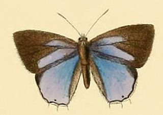<i>Cupidesthes thyrsis</i> species of insect