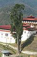 Cupressus cashmeriana Trongsa Dzong 2.jpg