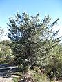 Cupressus macnabiana sparse crown.JPG