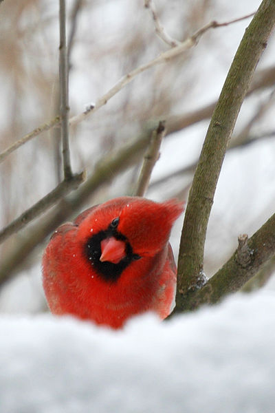 File:Curious little cardinal.jpg