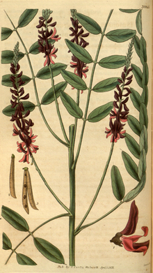Curtis's Botanical Magazine, Plate 3065 (Volume 58, 1831).png