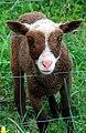 Cute brown and white lamb (3572919352).jpg