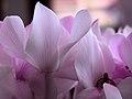 Cyclamen persicum2.jpg