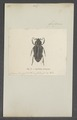Cyclidius - Print - Iconographia Zoologica - Special Collections University of Amsterdam - UBAINV0274 022 07 0011.tif