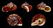 Cyclophorus linguiferus 01.jpg