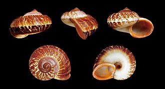 Cyclophorus (gastropod) - Five views of a shell identified as Cyclophorus rafflesi