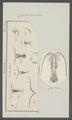 Cyclops coeruleus - - Print - Iconographia Zoologica - Special Collections University of Amsterdam - UBAINV0274 100 01 0027.tif