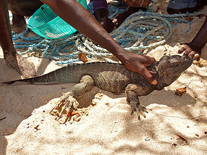 Environmental issues in Haiti - People capture a Rhinoceros iguana on Limbe Island, Northern Haiti.