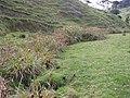 Cyperus insularis C. ustulatus Heenan and de Lange (AM AK291642-1).jpg